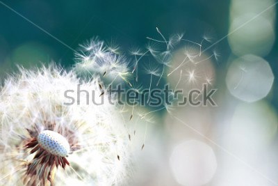 Fototapeta Pampeliška. Zblízka pampelišky spory foukání pryč, pampeliška semena ve slunečním světle fouká pryč přes čerstvé zelené ráno pozadí