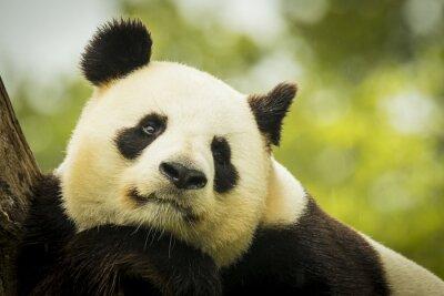 Fototapeta Panda awake