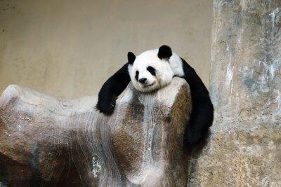 Fototapeta panda bear odpočívá