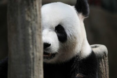Fototapeta Panda Bear portrét