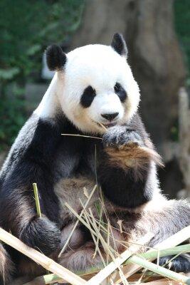 Fototapeta Panda jíst bambus