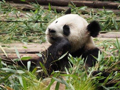 Fototapeta Panda jíst bambus v Chengdu v provincii Sichuan Čína