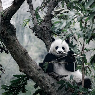 Fototapeta panda na stromě