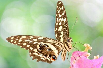 Fototapeta papillon sur fleur de bougainvillée