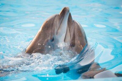 Fototapeta Pár delfínů tančí ve vodě