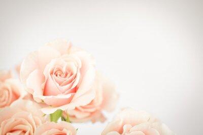 Fototapeta Peach rose clusteru s viněta