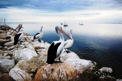 Fototapeta Pelikáni, Kangaroo Island, Austrálie