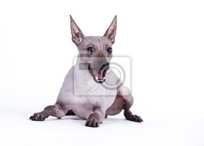 Pes americký nahý teriér fototapeta • fototapety výstava f9a614bec0