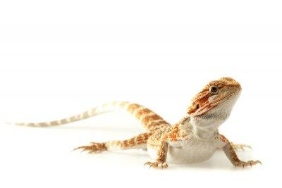 Fototapeta Pet ještěrka Bearded Dragon izolovaných na bílém, úzké zaměření