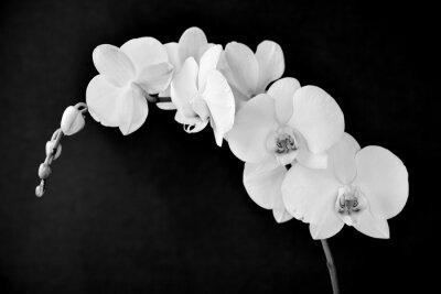 Fototapeta Phalaenopsis aphrodite orchidej, v černé a bílé