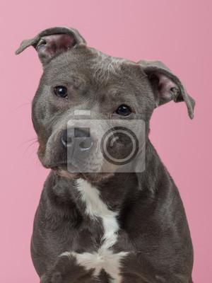 3010a04c9f1 Pit-bull portrét na růžovém pozadí fototapeta • fototapety pitbull ...