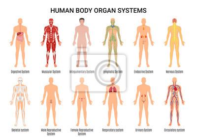 Fototapeta Plakát lidských tělesných orgánů