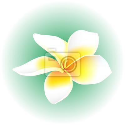 4e1b82633f3 Fototapeta plumeria keře bílý květ květ izolované vektorové ilustrace
