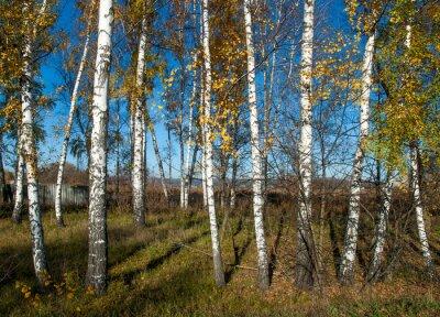 Fototapeta podzimní krajina s břízami