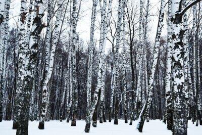 Fototapeta pohled na zasněžené březovém lese v zimě