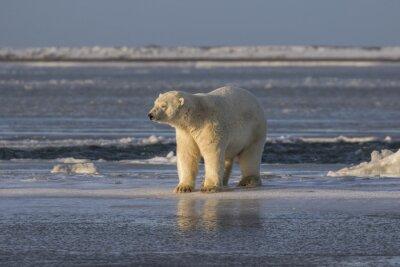 Fototapeta Polar Bear kontrolu věci ven