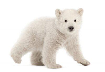 Fototapeta Polární medvídě, Ursus maritimus, 3 měsíce stará