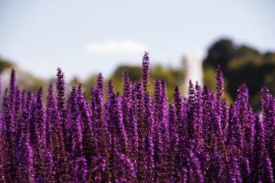 Fototapeta Pole fialové květy