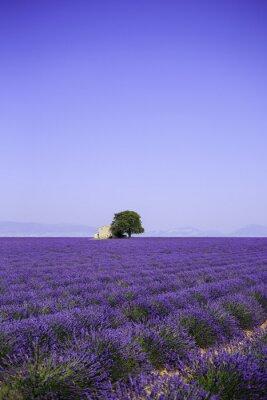 Fototapeta Pole kvetoucí květy levandule s starém statku - Provence, Francie