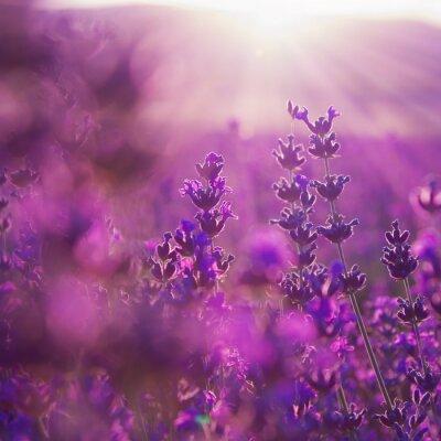 Fototapeta Polní květy levandule