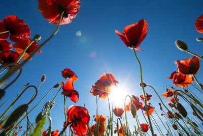 Fototapeta Poppy květ