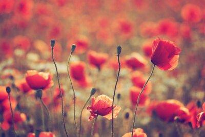 Fototapeta Poppy pole
