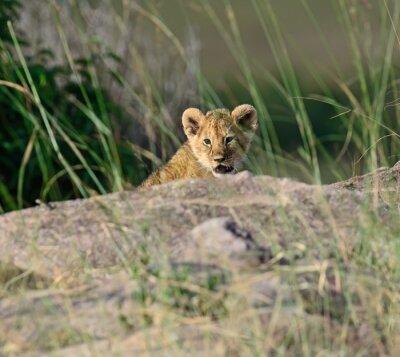 Fototapeta Portrét africký lev