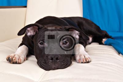 79245ca7a92 Fototapeta Portrét amerického staffordshire teriér štěně na bílém rohoži na modrém  pozadí