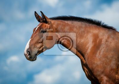 383ecb61413 Portrét bay koně na modrém pozadí oblohy fototapeta • fototapety ...