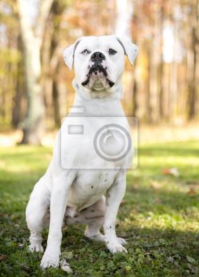 31f467616b2 Fototapeta Portrét bílého amerického buldoku s heterochromií
