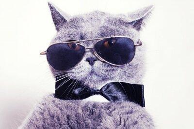 Fototapeta Portrét Britská krátkosrstá kočka na sobě sluneční brýle šedé