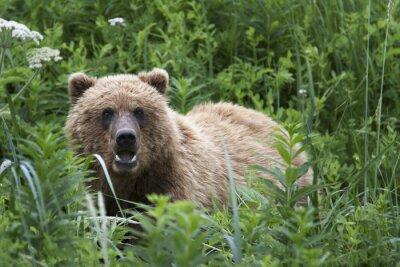 Fototapeta Portrét divoké bez roamingu medvěda hnědého