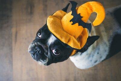 Fototapeta Portrét francouzského buldočka s kloboukem halloween