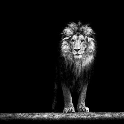 Fototapeta Portrét krásné lev, lev ve tmě