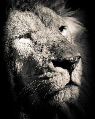 Fototapeta portrét lva - černobílé fotografie