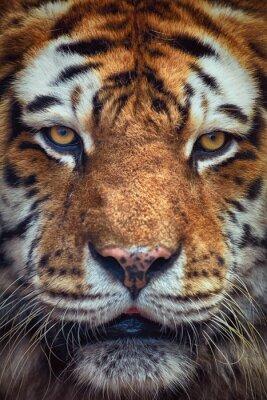 Fototapeta Portrét Tiger