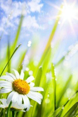 přírodní letní pozadí s květinami sedmikrásky v trávě