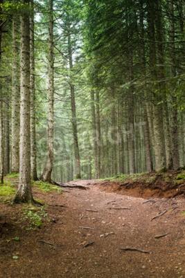 Fototapeta Přírodní smrk Forest