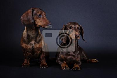 Psí plemeno jezevčík fototapeta • fototapety lovecký pes 545fdb6c0e