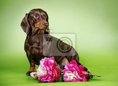 Psí plemeno jezevčík s květinami fototapeta • fototapety lovecký pes ... 2ab6d1f1ad