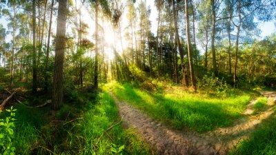 Fototapeta Ranní slunce svítí na stezce v lese