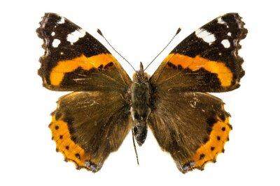 Fototapeta Red Admiral Butterfly