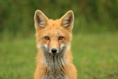 Fototapeta Red Fox Kit Head Portrait, PEI, Kanada