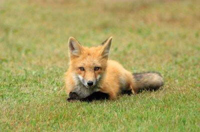 Fototapeta Red Fox Kit Posing in a Grass Meadow, PEI, Canada