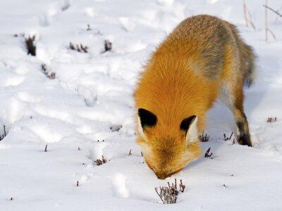 Fototapeta Red Fox obličeje ve sněhu