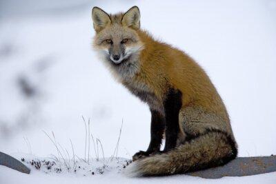 Fototapeta Red Fox odpočívá
