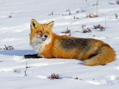 Fototapeta Red Fox Opalování ve sněhu