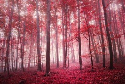 Fototapeta Red nasycené mystické podzim buk lesní krajiny. Červená barva filtr tón použít.