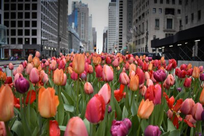 Fototapeta red tulips in Chicago downtown