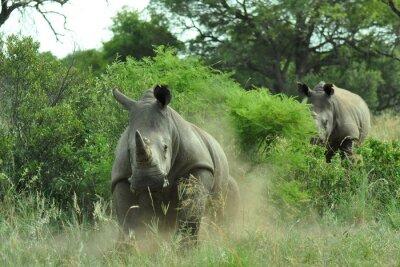 Fototapeta Rhino nabíjení